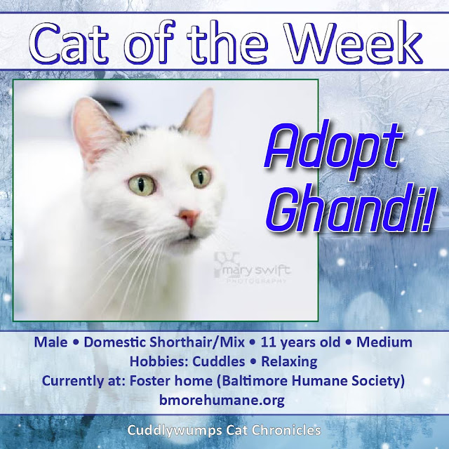 Cat of the Week: Adopt Ghandi! #adoptme #BaltimoreHumane
