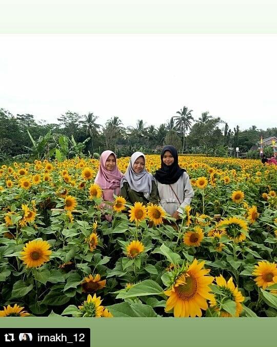 Indahnya Hamparan Bunga Matahari di Helio Garden Sleman Yogyakarta