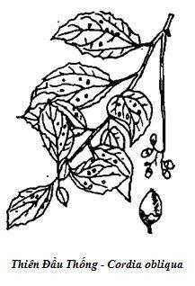 Hình vẽ Cây Thiên Đầu Thống - Cordia obliqua - Nguyên liệu làm thuốc Chữa Bệnh Tiêu Hóa