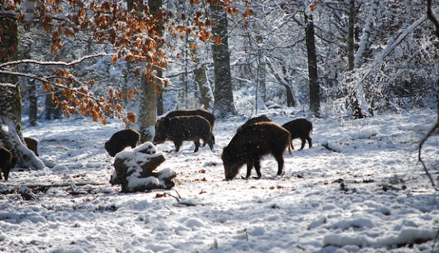 Kenapa Babi Di Haramkan Padahal Mahluk Ciptaan Tuhan Juga, Inilah Alasannya