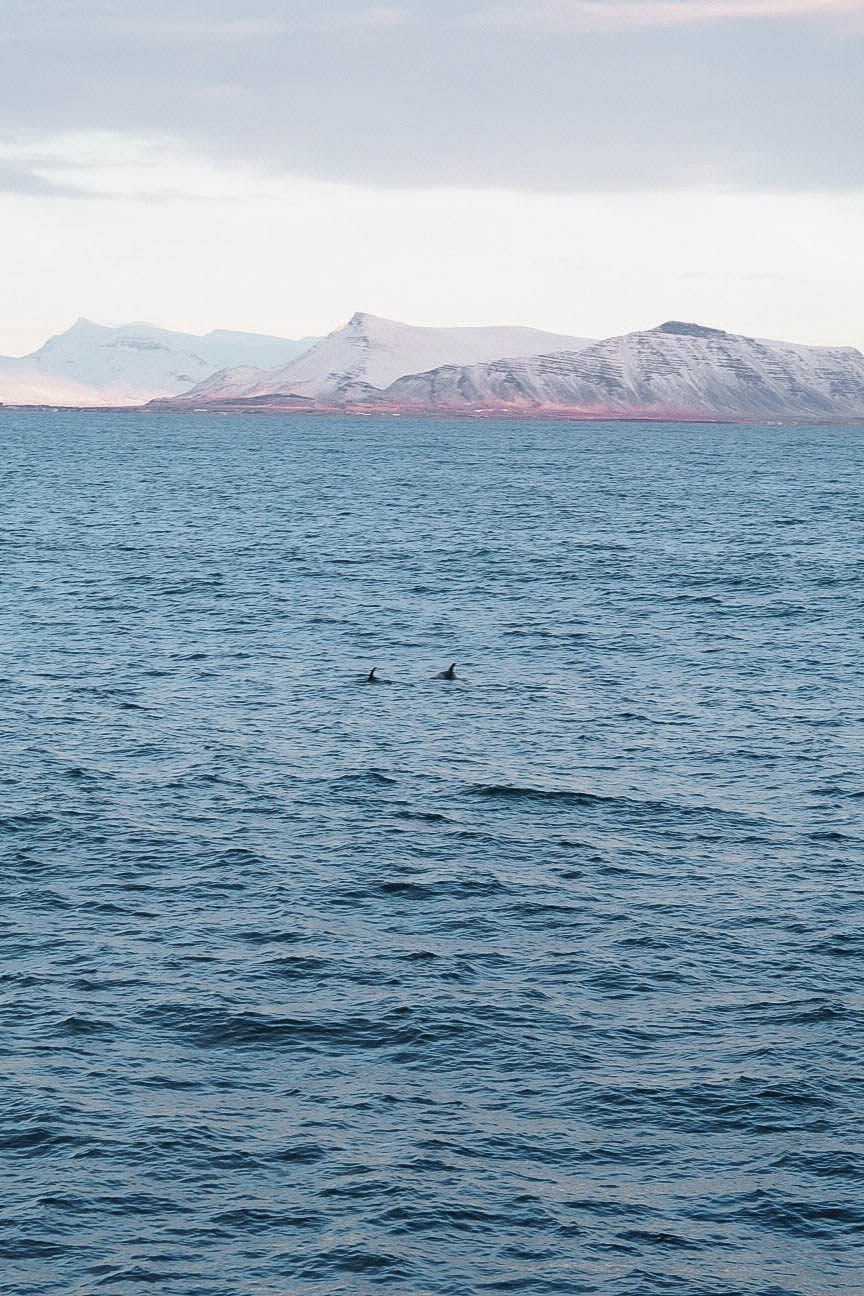 Dolphin watching in Iceland