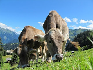 cara ternak sapi sukses,ternak sapi potong,ternak sapi limosin,