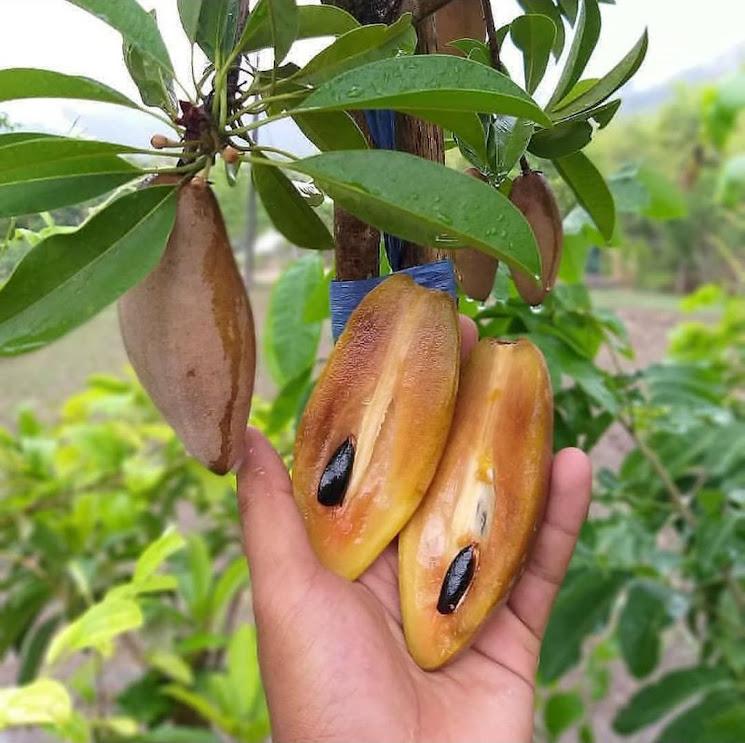 Bibit tanaman sawo mentimun BISA COD Sumatra Selatan