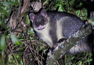 Australia fauna