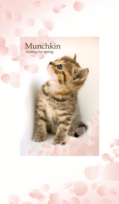 Cute dogcat Cherry Blossoms Munchkin
