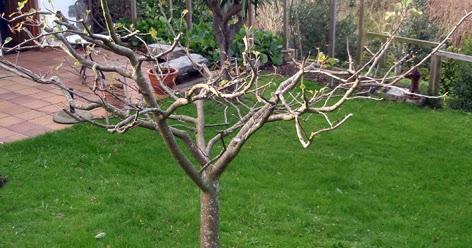 Poda de invierno de manzanos perales y membrilleros - Poda de hortensias epoca ...