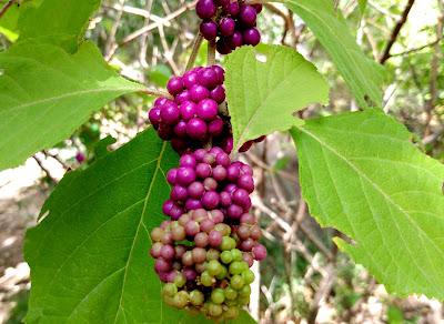 beauty berry metallic purple