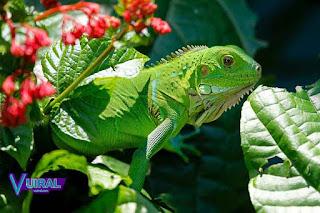 Contoh Hewan Reptil Iguana Hijau
