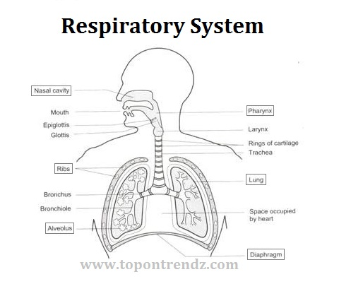 Anatomy of the Respiratory System