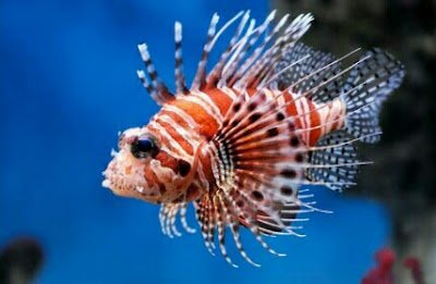 ikan hias lionfish