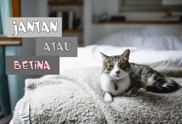 Kucing Munchkin Jantan atau Betina