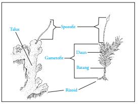 struktur tubuh lumut