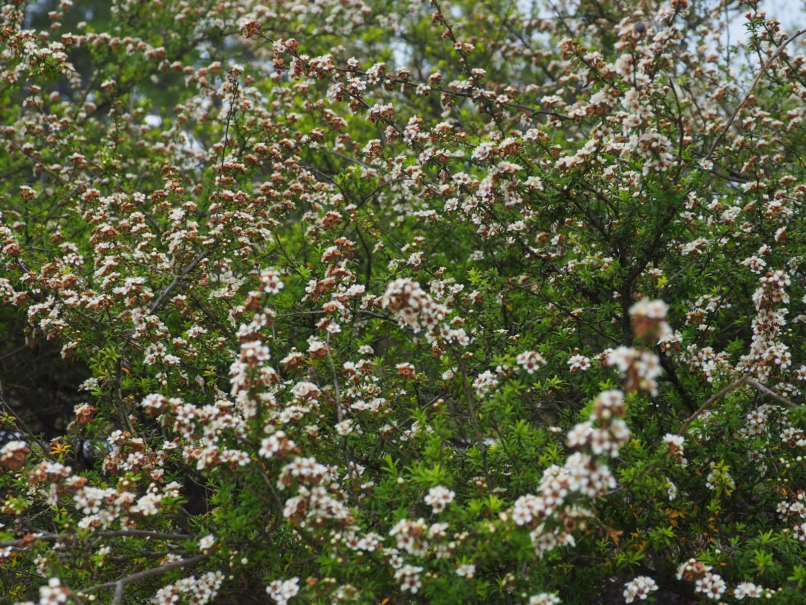 Andreas plants photos and travels gbbd in new zealand we found this white flowering bushes on the way to rotorua volcanoes this is the manuka leptospermum scoparium also called tea tree or jelly bush mightylinksfo