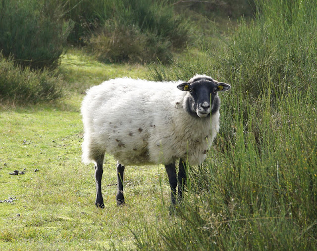 Wandern auf Bornholm: Rund um Hammerknuden. Freilaufende Schafe auf dem Hammer im Norden der dänischen Insel begrüßen die Wanderer entspannt.