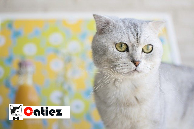 Scottish Fold cat - all you want to know about Scottish Fold cats