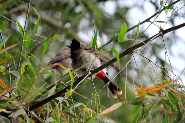 Red-vented bulbul at Masinagudi