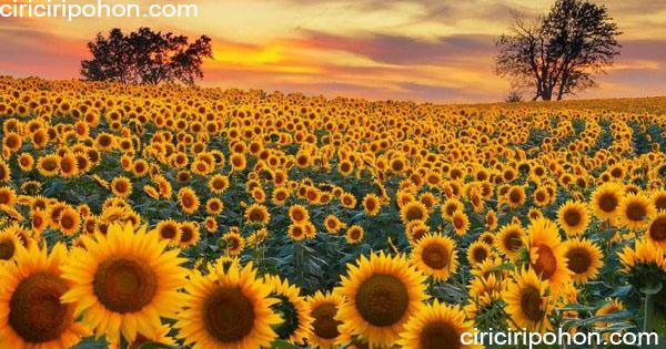 ciri ciri pohon bunga matahari