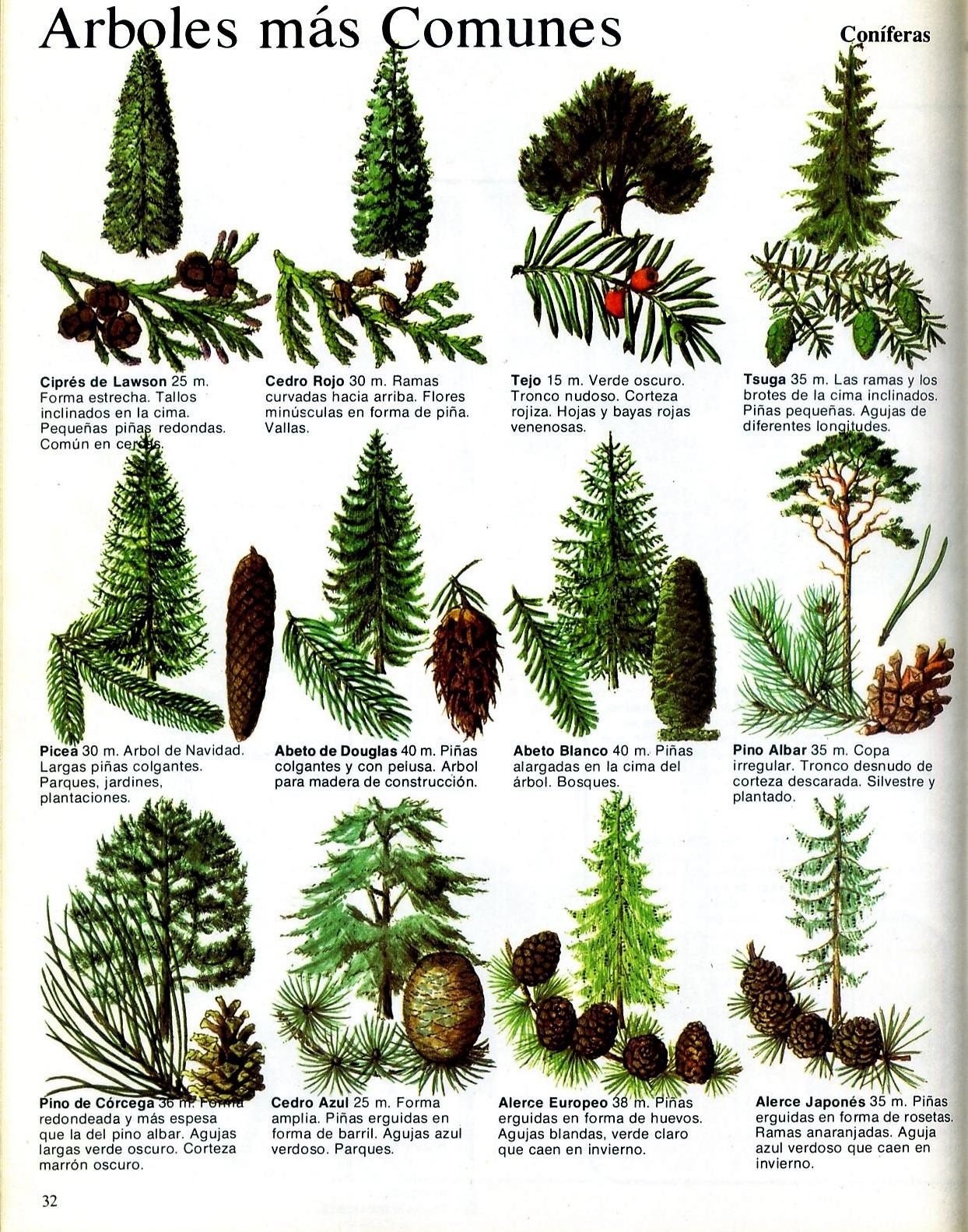 Txirpial conociendo nuestros rboles for Nombres de los arboles de hoja perenne