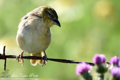 Tejedor Cabecinegro - Ploceus Melanocephalus (fotografia-de-naturaleza.blogspot.com)