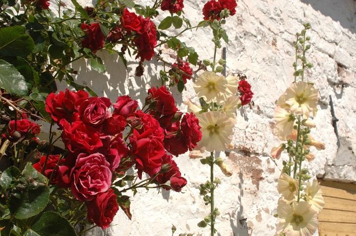 Tanaman bunga mawar