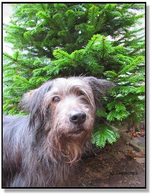 Lotte mit Weihnachtsbaum