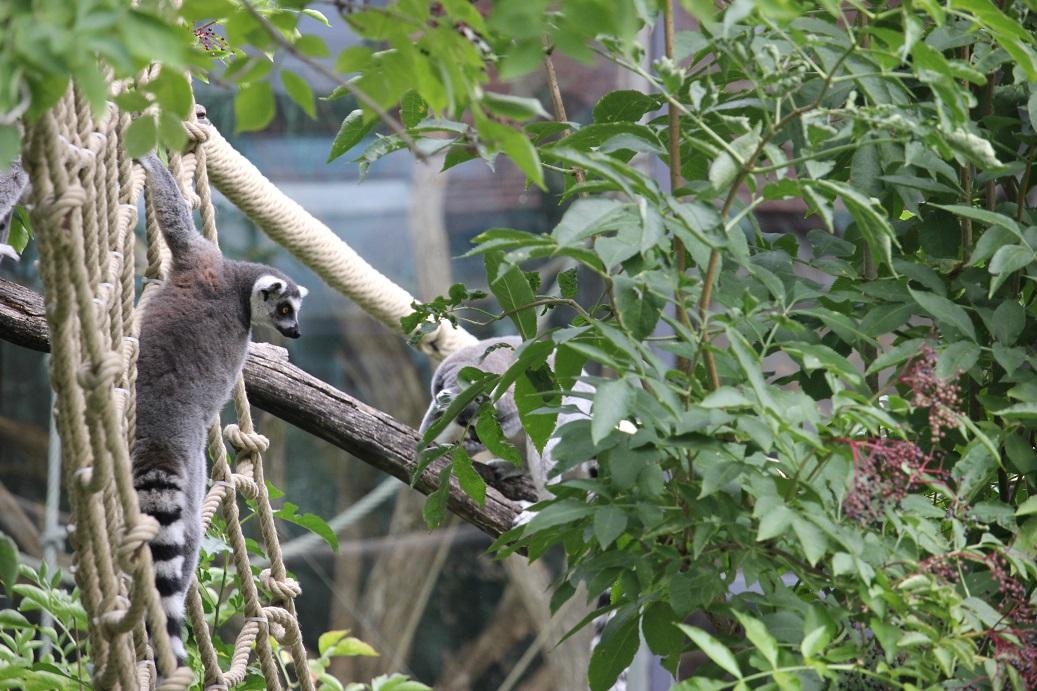 výběh lemurů v zoologické zahradě Schönbrunn