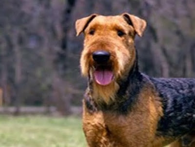 Airedale Terrier Poodle mix (Airedoodle) Temperament, Size, Adoption, Lifespan