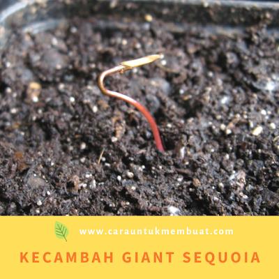 Kecambah Giant Sequoia (Sequoiadendron giganteum)
