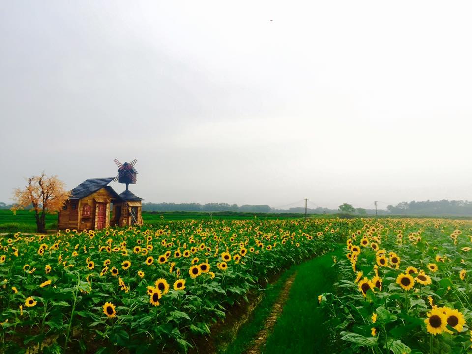 Giới trẻ 'phát sốt'' với vườn hoa hướng dương tại Bắc Giang -1