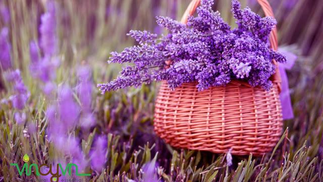 tinh dầu hoa lavender