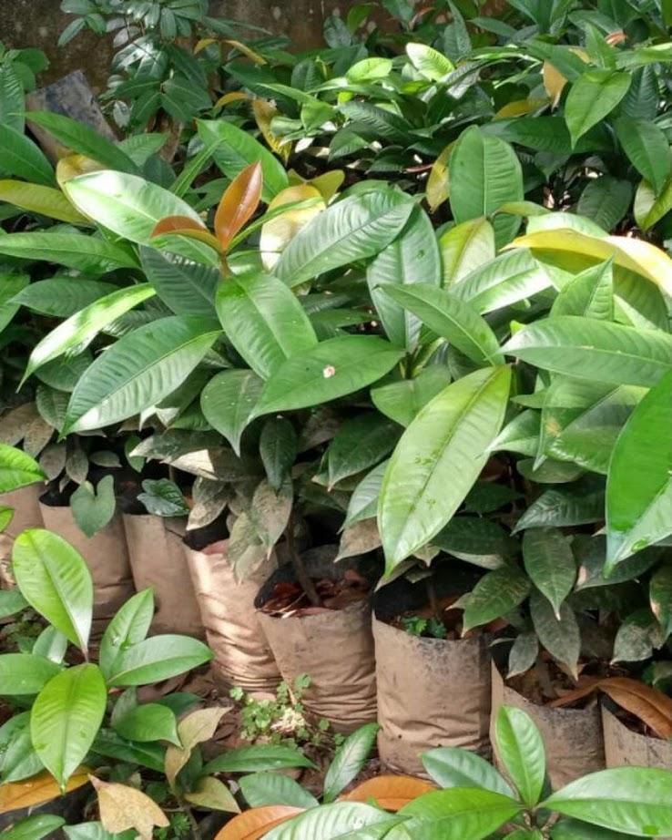 Tanaman Bibit Buah Manggis Okulasi Cepat Berbuah Sumatra Utara