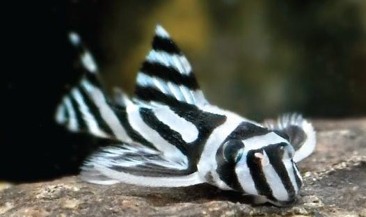 Zebra Pleco Care Helpful Tips For Beginners Aquarist