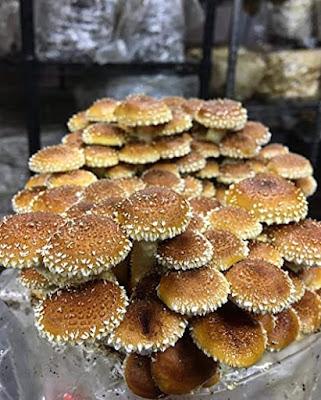 Buy Chestnut mushroom Online