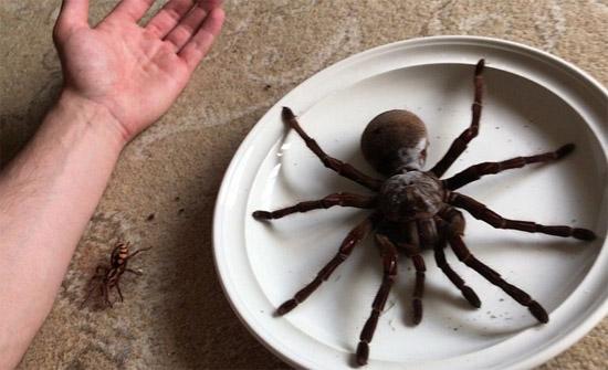Maior Aranha do Mundo vive no Brasil-  Aranha Golias comedora de pássaros - Img 2