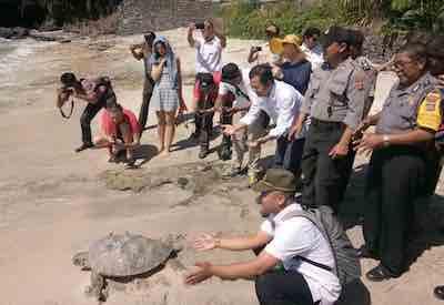 Pelepasliaran Penyu Hijau DI Pantai Blue Lagoon Padangbai Bali