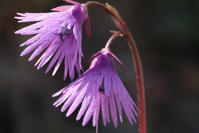 [Primulaceae] Soldanella alpina – Alpine Snowbell (Soldanella comune).