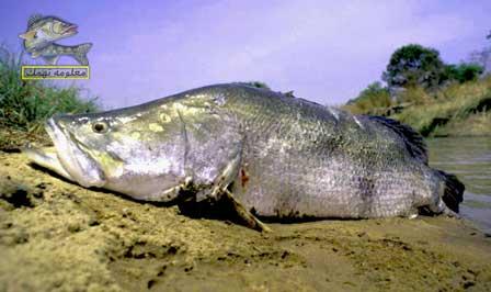 سمك بياض و قشر بياض : الأنواع و طريقة الصيد و الفوائد وطرق الطهي