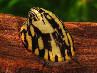 abalone snail