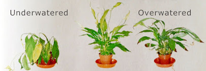 Under and overwatered plants. Darren Wogman Gets Gardening