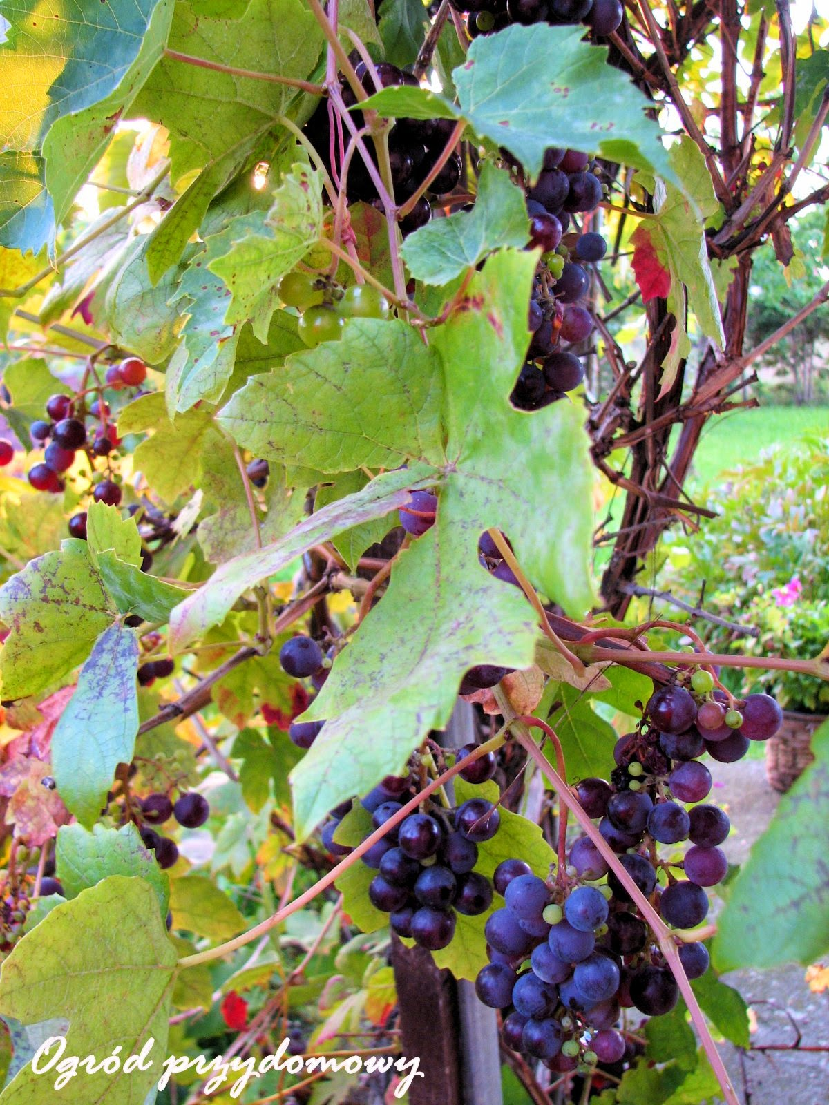 pnącze winorośli, pnącze winogron, ogród przydomowy