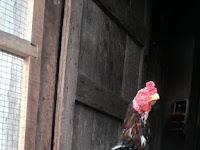Mengenal Ciri Ayam Bangkok Berkualitas