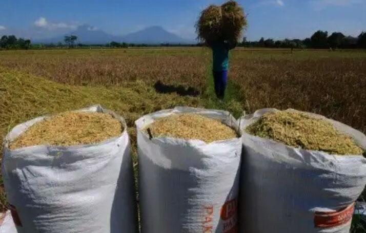pengepul padi