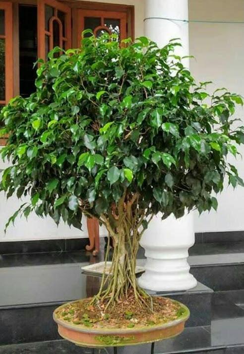 Bibit pohon beringin Papua
