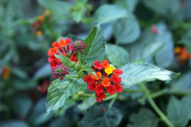 lantana, garden, flowers, autumn, Anne Butera, My Giant Strawberry