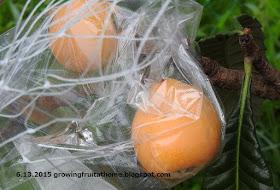 ビワに防鳥ネットとBIKOO果実袋を掛ける