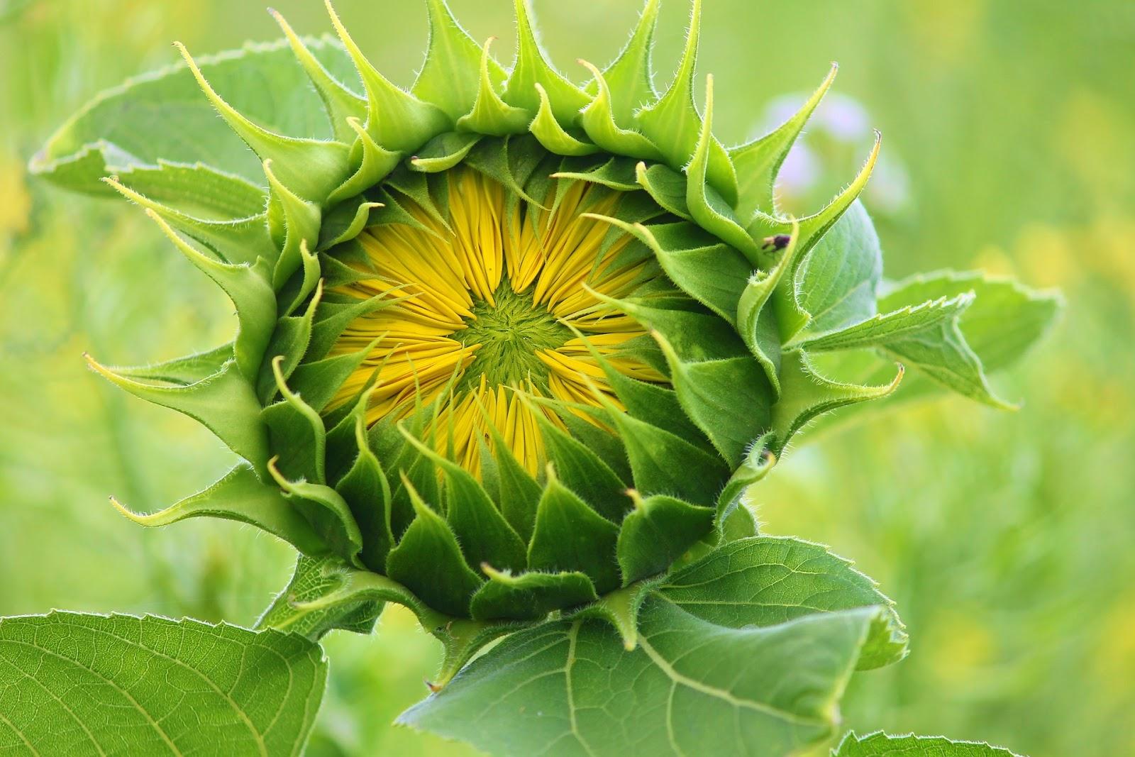 gambar bunga matahari | sunflower