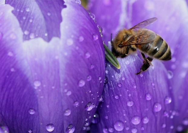 ABEJA EN FLOR DE AZAFRAN - BEE IN FLOWER SAFFRON