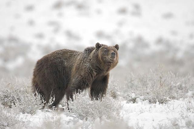 gấu không thự sự ngủ đông