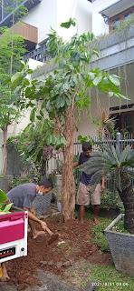 Pohon Walisongo murah