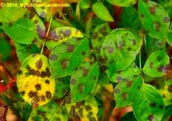 Black Spots on Rose Leaves